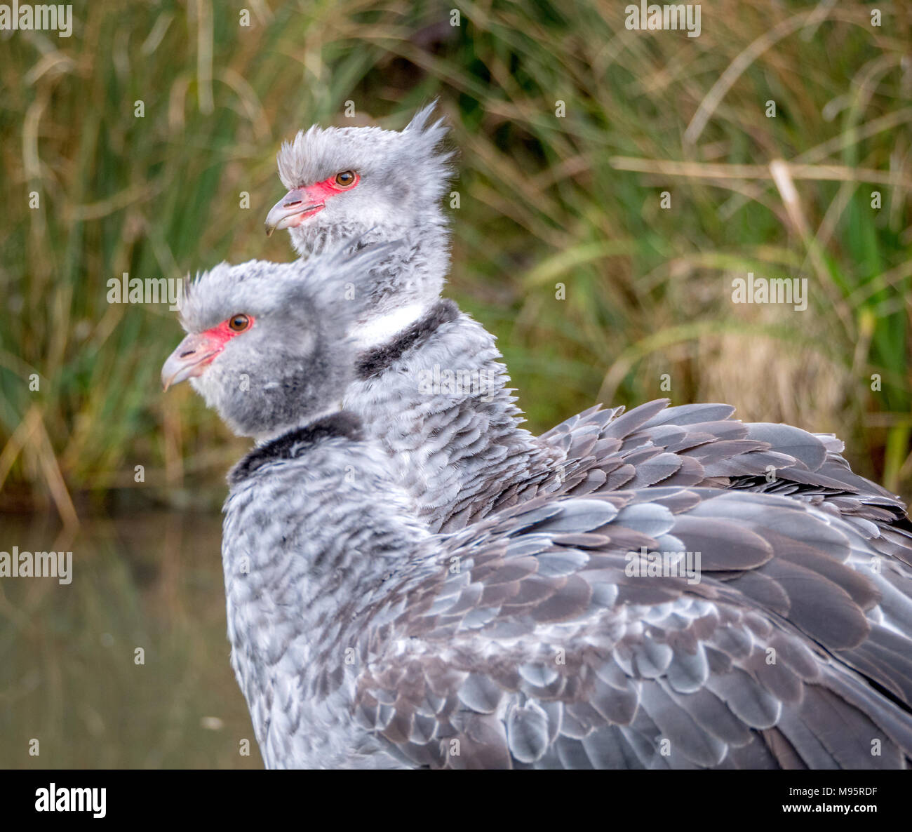 Pair of crested or southern screamers Chauna torquata closely mirroring each other's body language at Slimbridge Gloucestershire UK - Stock Image