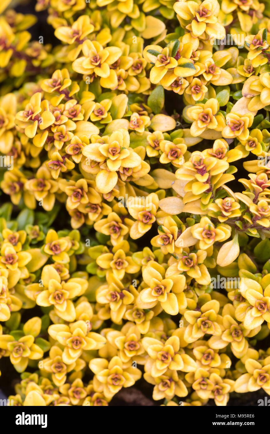 Rich yellow gold and red foliage of the small creeping lemon scented thyme, Thymus pulegloides 'Bertram Anderson' - Stock Image