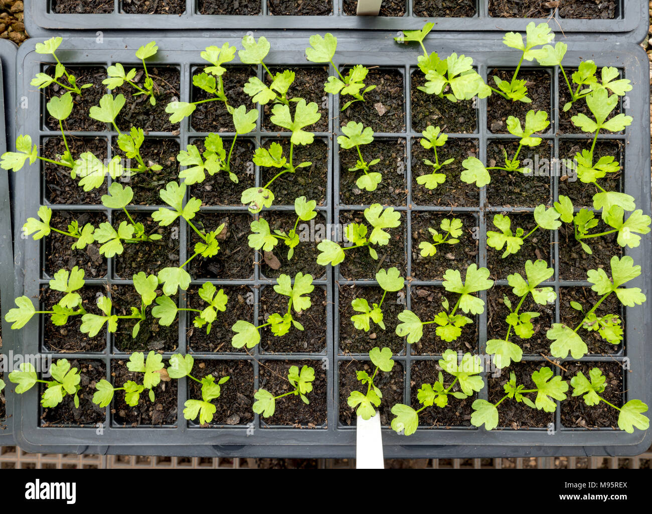 Seedling plants in a plastic growing tray in an English country garden greenhouse UK - Stock Image