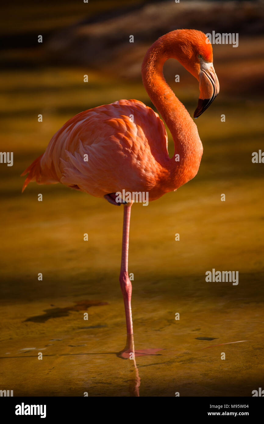 An American Flamingo standing on one leg to retain body heat walking in pond in Barcelona Zoo.  Barcelona, Spain - Stock Image