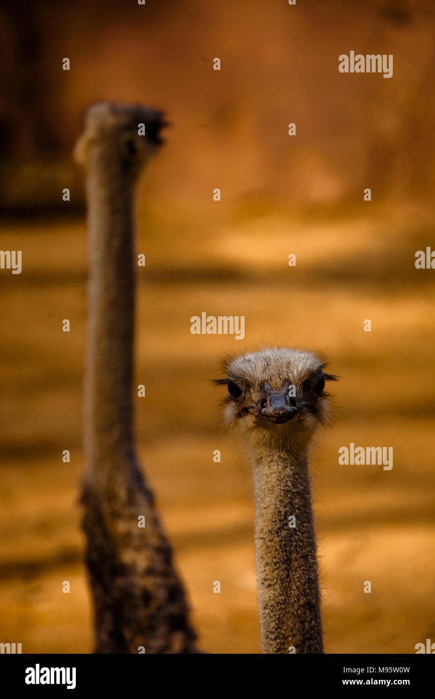 An image presenting two emus in Australia. - Stock Image