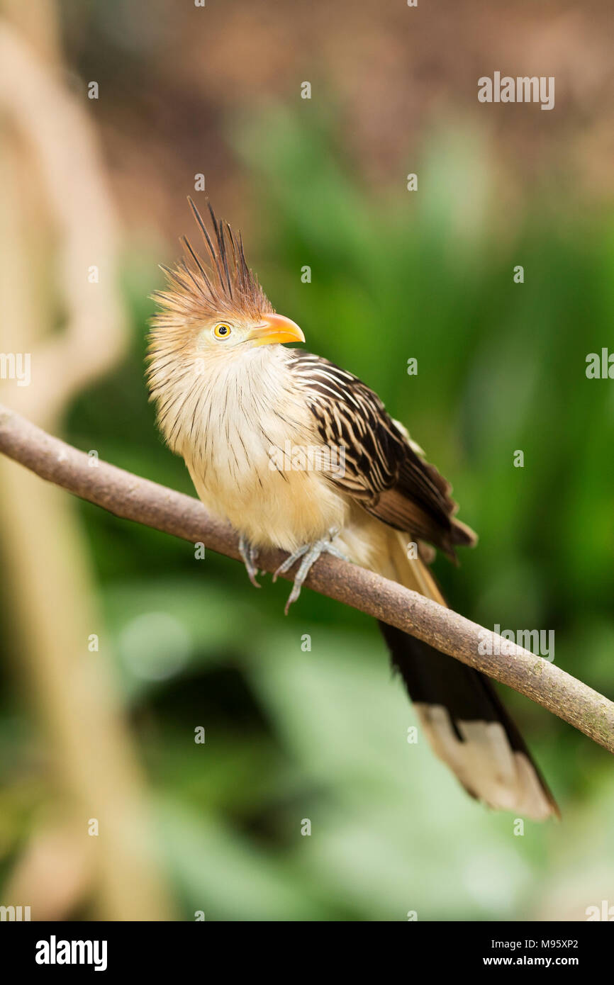 A guira cuckoo (guira guira) perched on the branch of a tree. - Stock Image