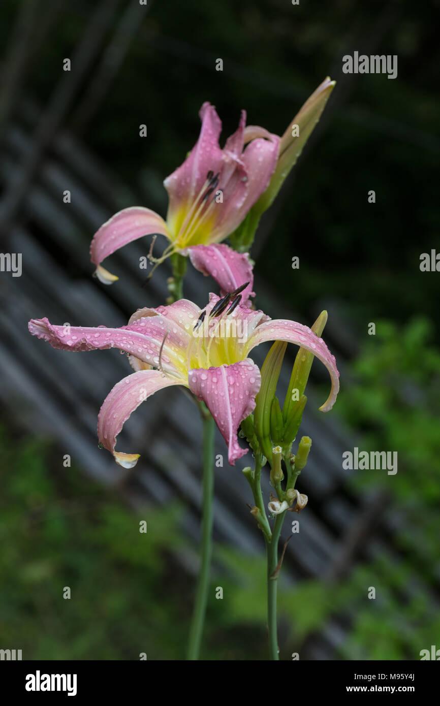'North Wind Drifter' Daylily, Daglilja (Hemerocallis) - Stock Image