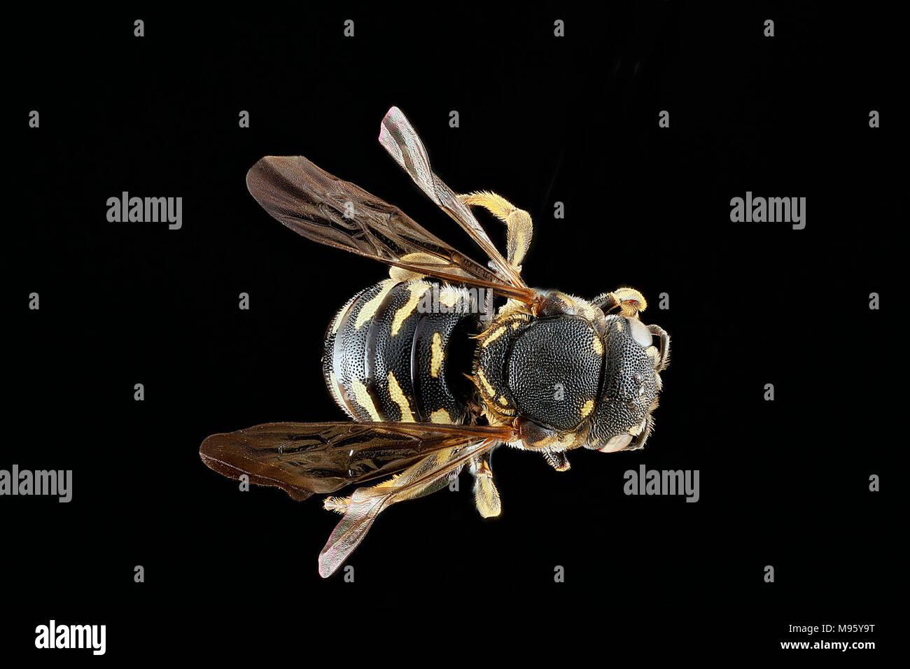 Dianthidium-simile,-female,-back - Stock Image