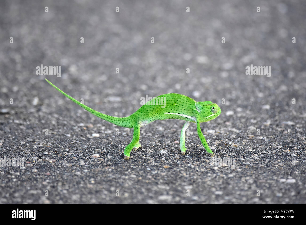 South Africa is a popular tourist destination for its blend of true African and European experiences. Kruger Park is world famous. Green chameleon. - Stock Image