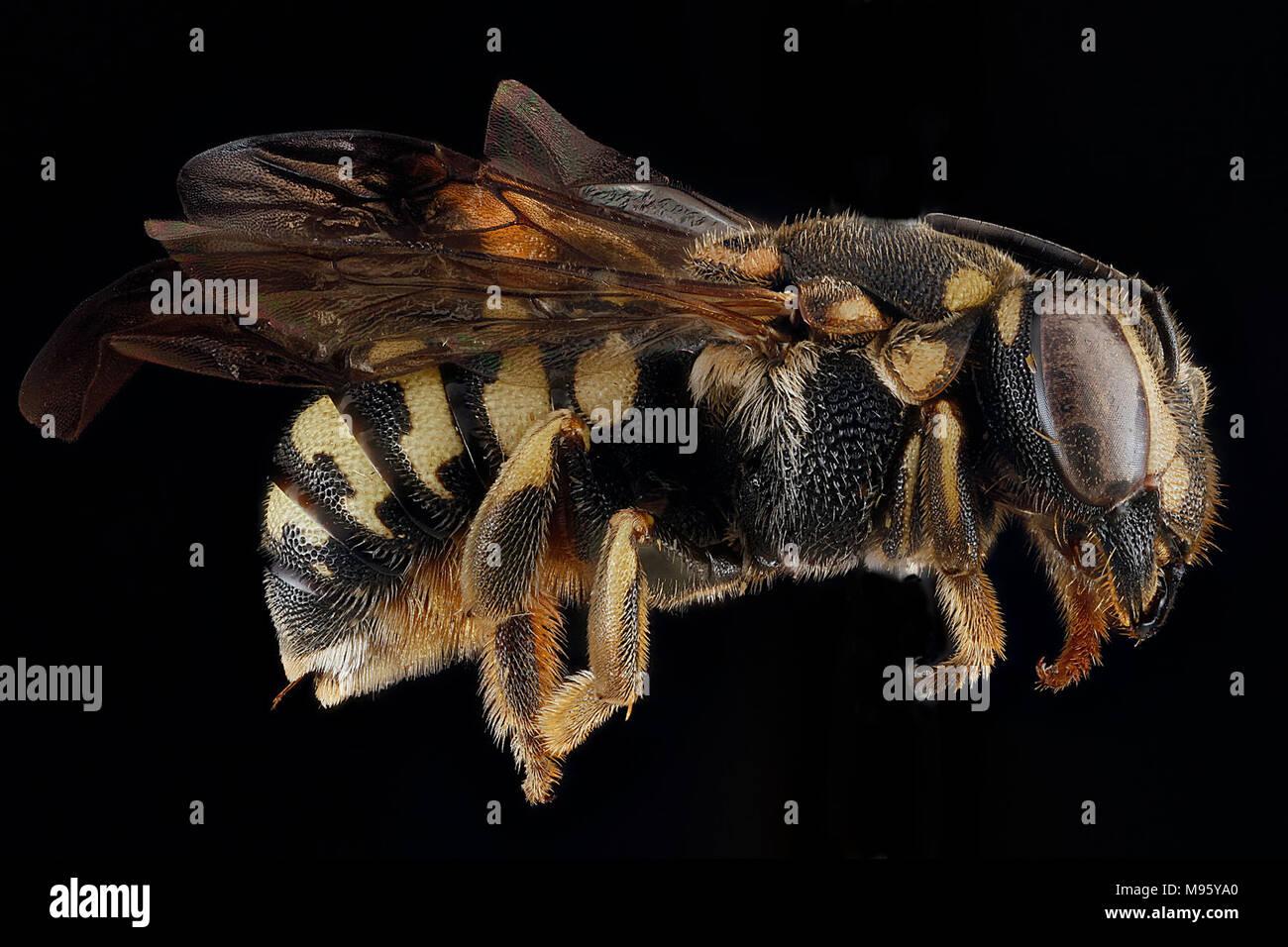 Dianthidium-simile,-female,-side - Stock Image