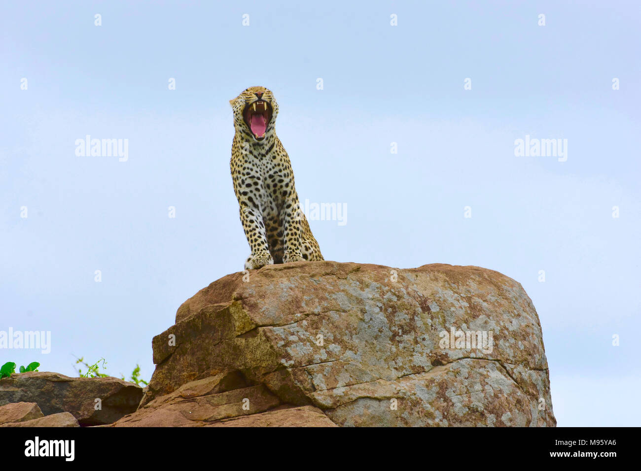 South Africa is a popular tourist destination for its blend of true African and European experiences. Kruger Park is world famous. Yawning leopard. - Stock Image