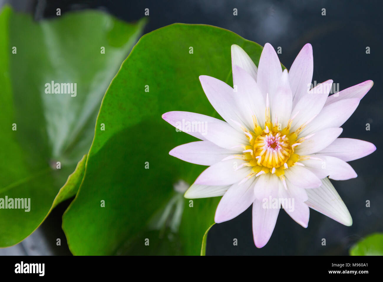 Lotus Flower Or Water Lily Flower Blooming With Lotus Leaves