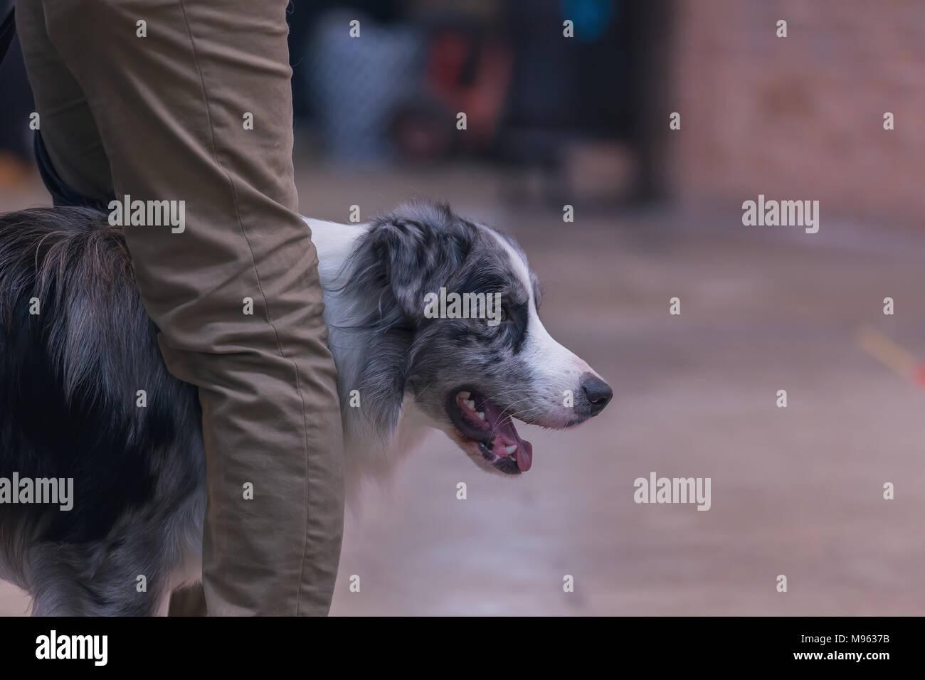 22th INTERNATIONAL DOG SHOW GIRONA March 17, 2018,Spain, Blue Merle Border Collie Stock Photo