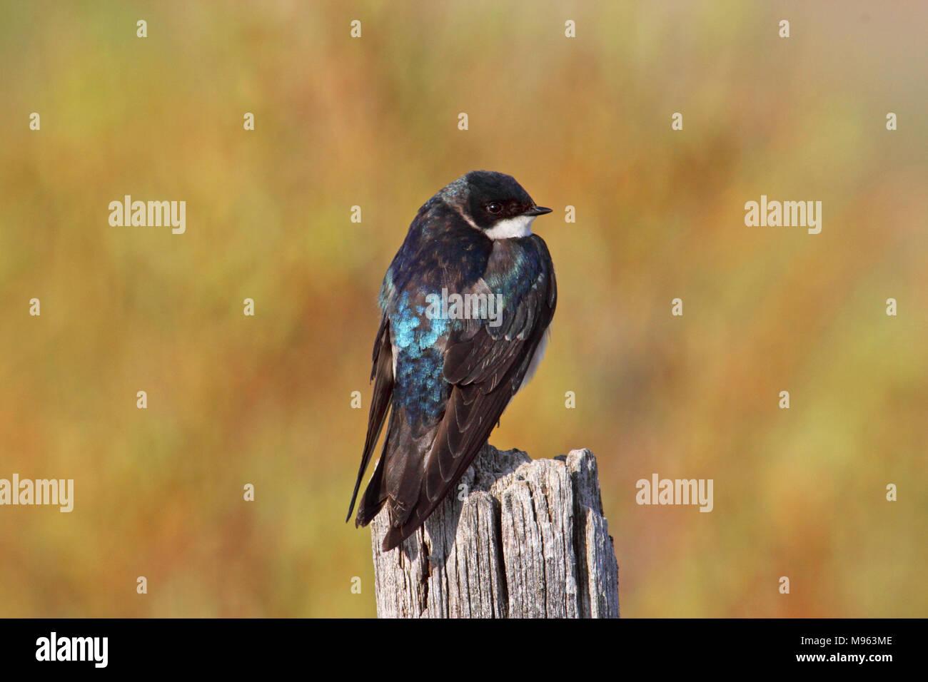 Birds of North America, tree swallow, tachycineta bicolor Stock Photo