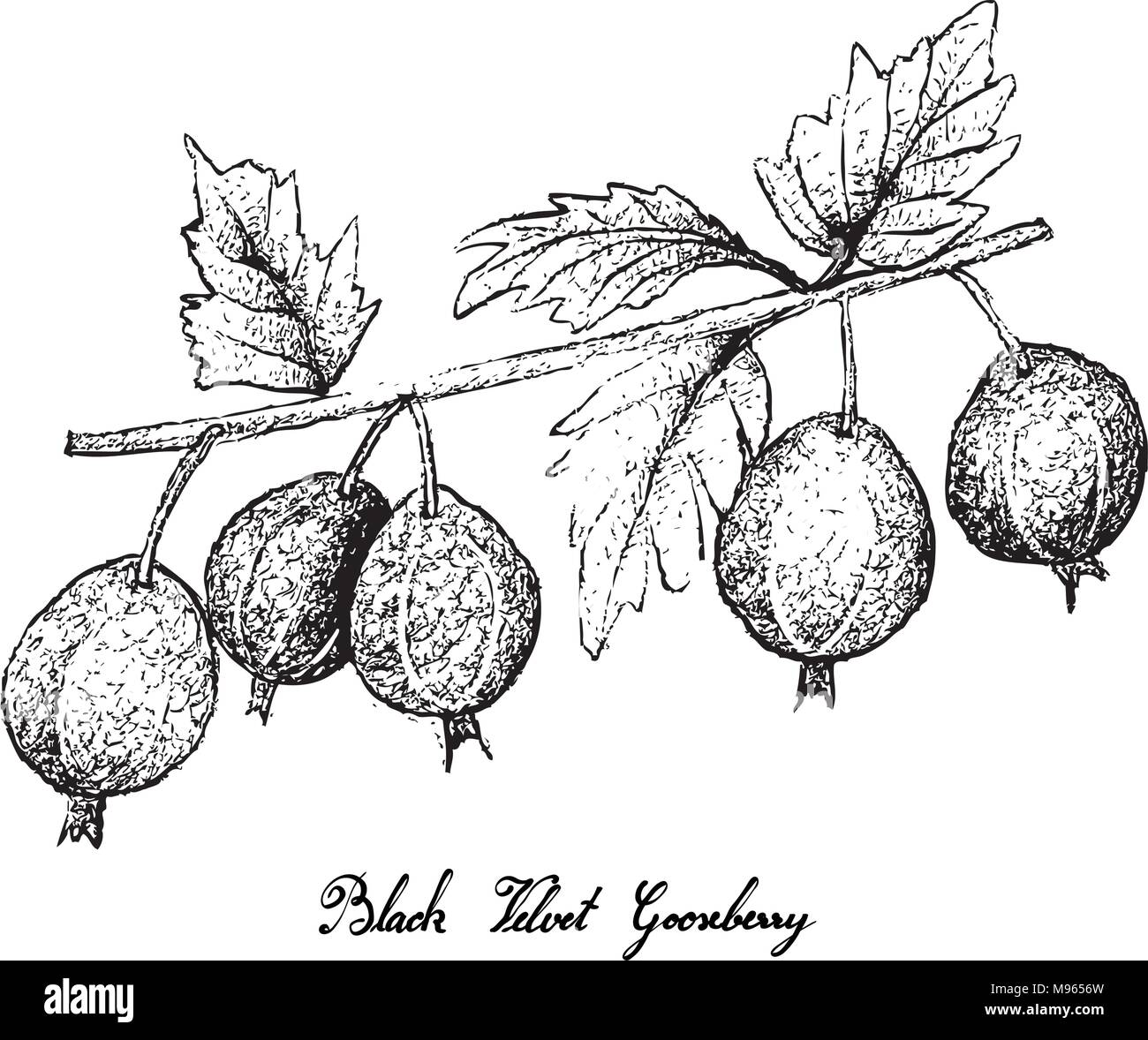 Berry Fruits, Illustration of Hand Drawn Sketch Fresh Black Velvet Gooseberry or Ribes Oxyacanthoides Fruit Isolated on White Background. - Stock Vector