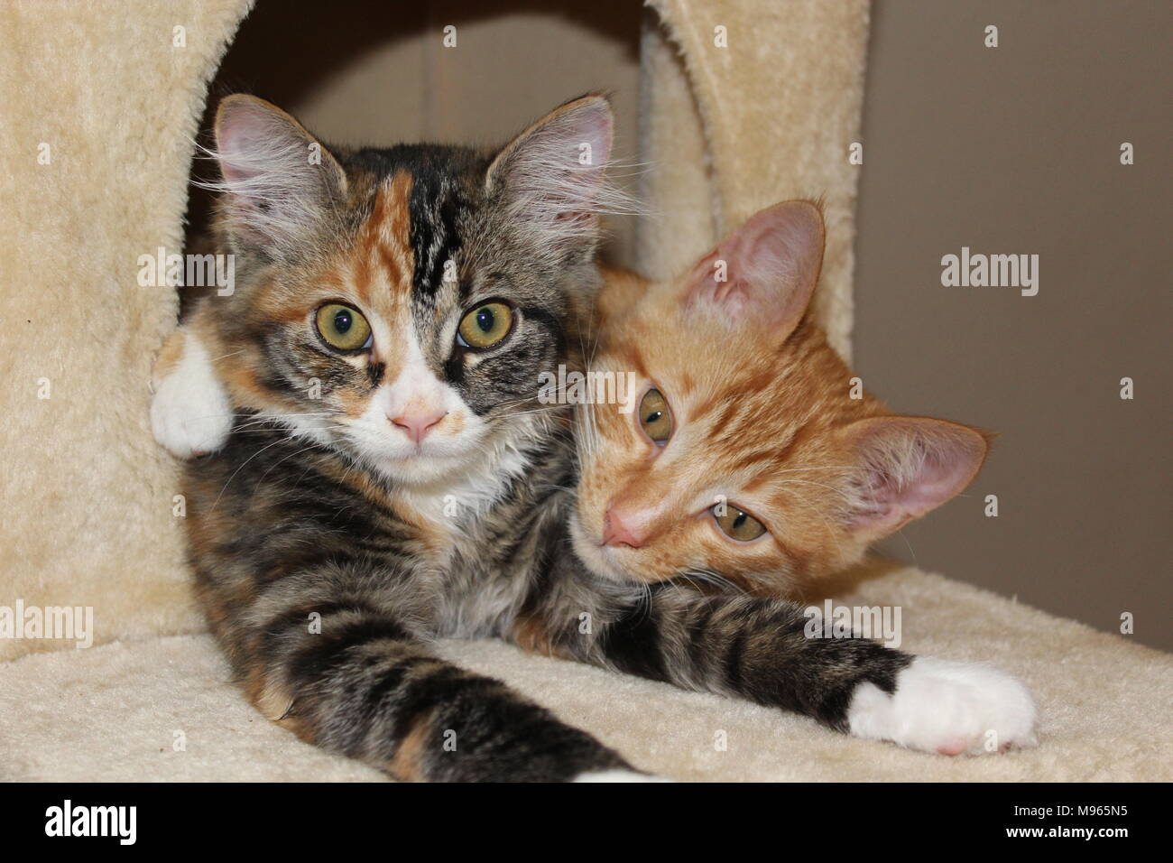 Kittens showing some brotherly love - Stock Image