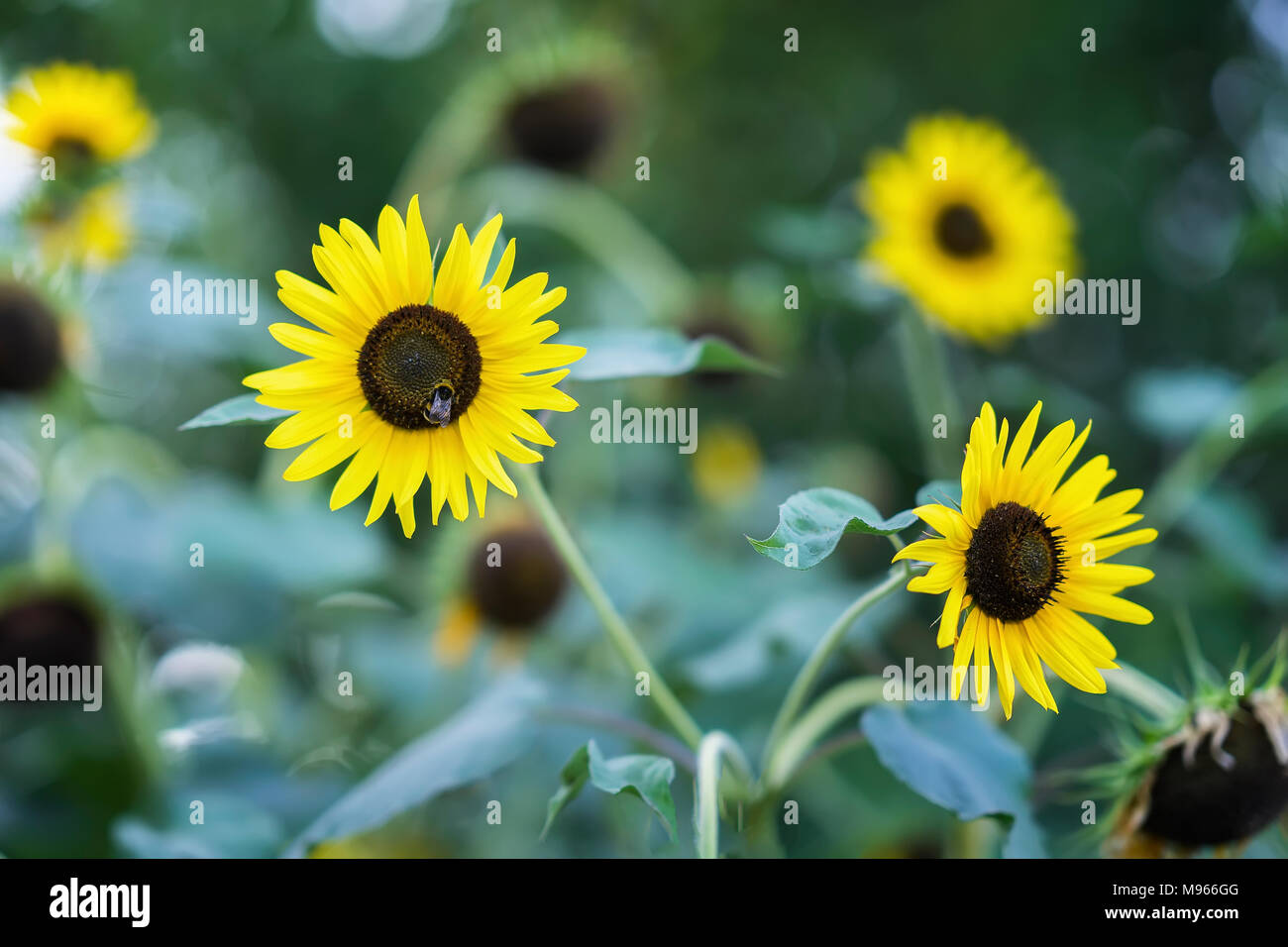 Bee collects nectar of sunflower in bright summer day - Stock Image