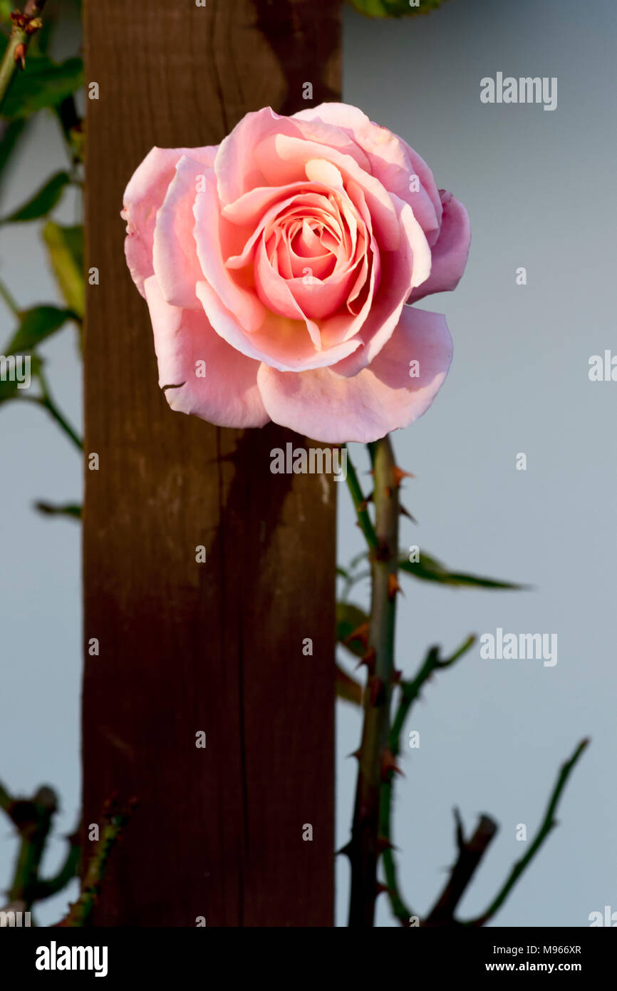 Delicate pink rose illuminated by gentle sunlight casting shadow on fence post with thorns and vegetation - Stock Image