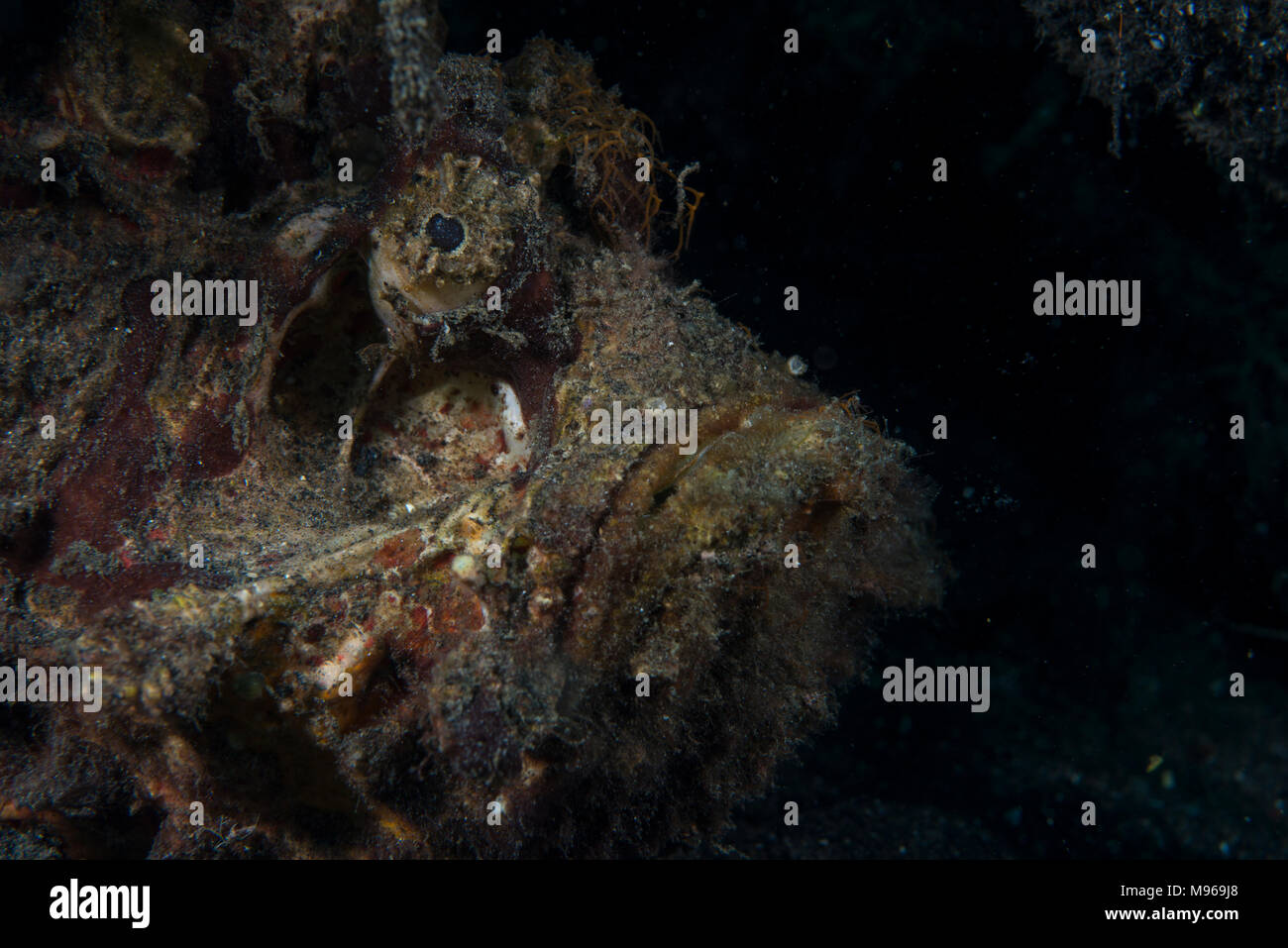 Portrait of an Estuarine stonefish, Synanceia horrida, Lembeh Island, Lembeh Strait, Pacific Ocean, Indonesia, - Stock Image