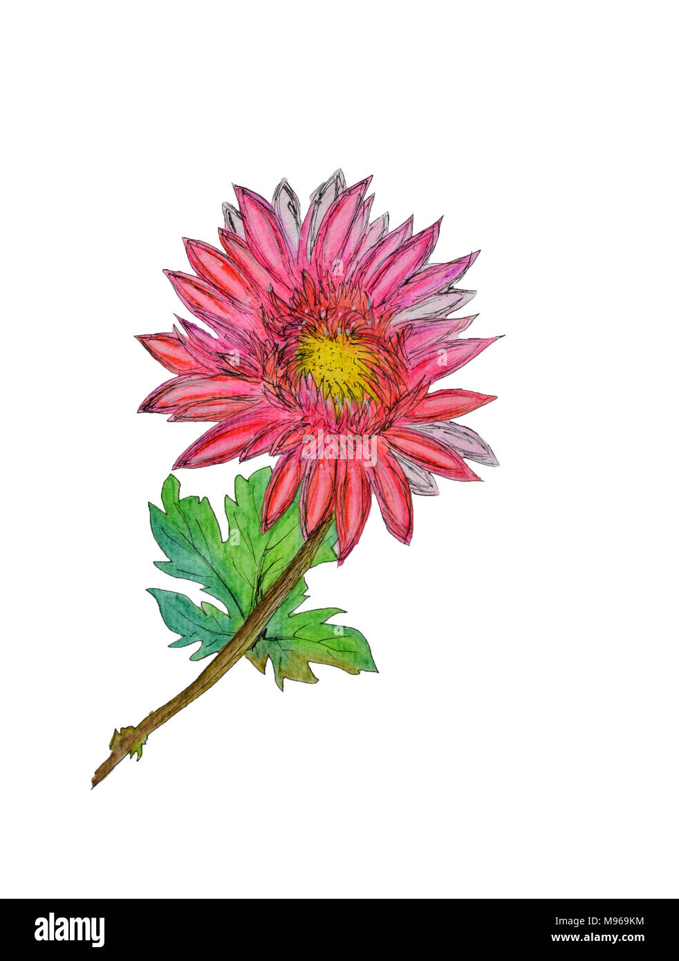 Watercolor Hand Painted Chrysanthemum Can Be Used As Background For