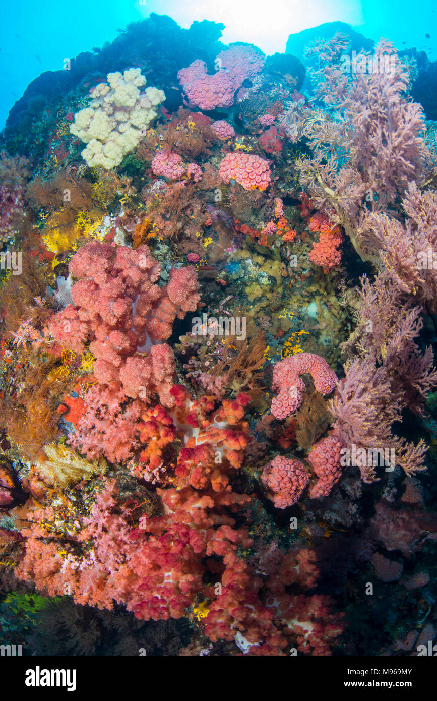 Variety of Soft Corals, Lembeh Island, Lembeh Strait, Pacific Ocean, Indonesia, - Stock Image