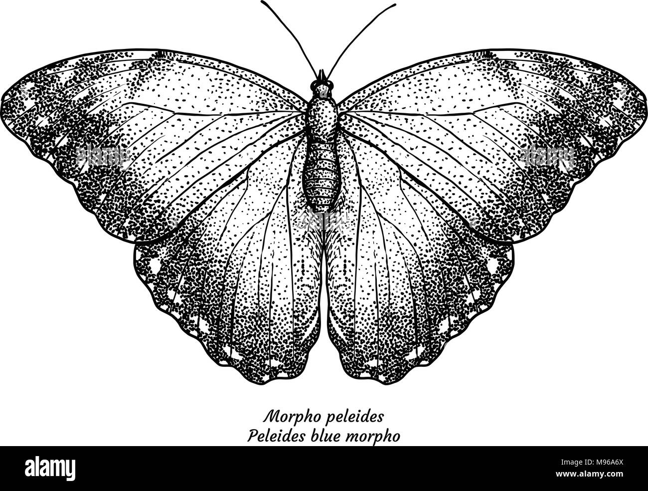 Giant Blue Morpho Butterfly Stock Photos & Giant Blue Morpho ...