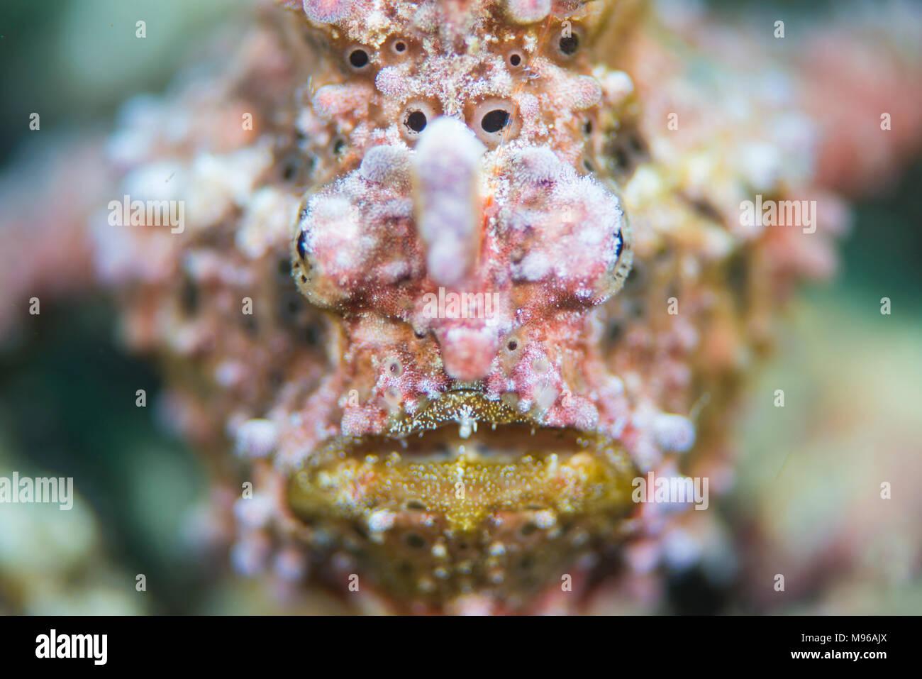 A Warty Frogfish, Antennarius maculatus, Lembeh Island, Lembeh Strait, Pacific Ocean, Indonesia, - Stock Image