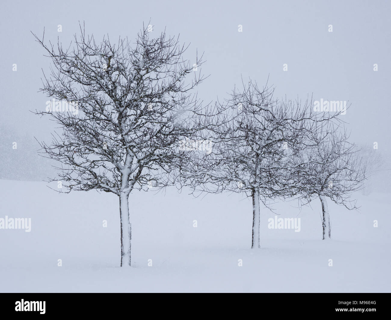 Three snowy apple trees after snowstorm - Stock Image