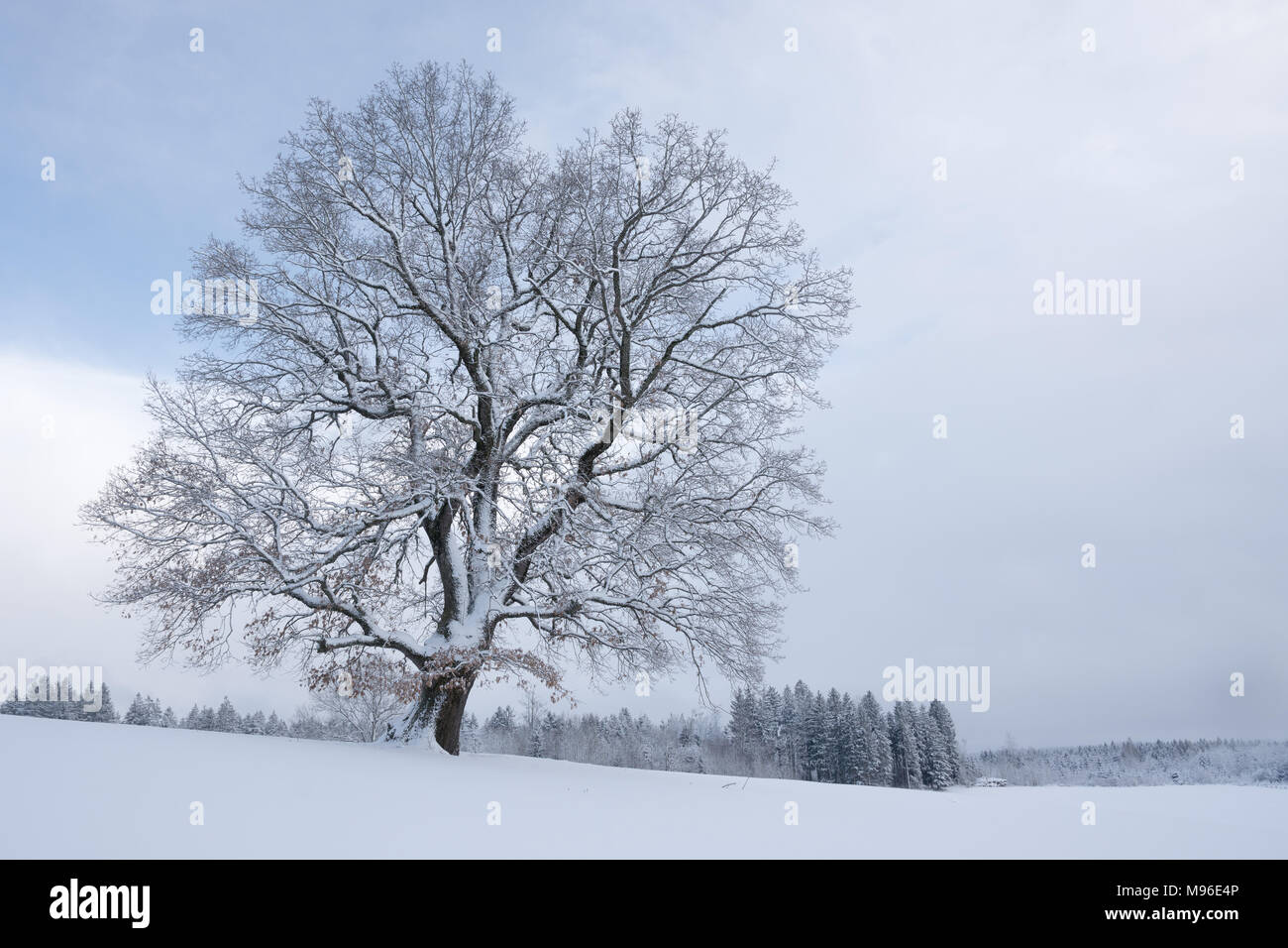 Snowy tree after snowstorm Stock Photo