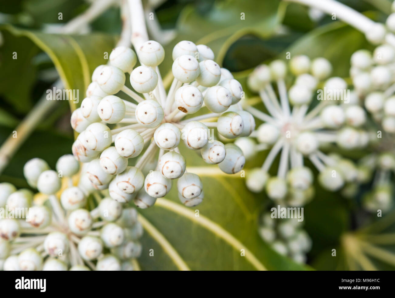Fatsia japonica japanese aralia castor oil plant macro closeup fatsia japonica japanese aralia castor oil plant macro closeup with white flower heads growing in late winter in west sussex england uk mightylinksfo