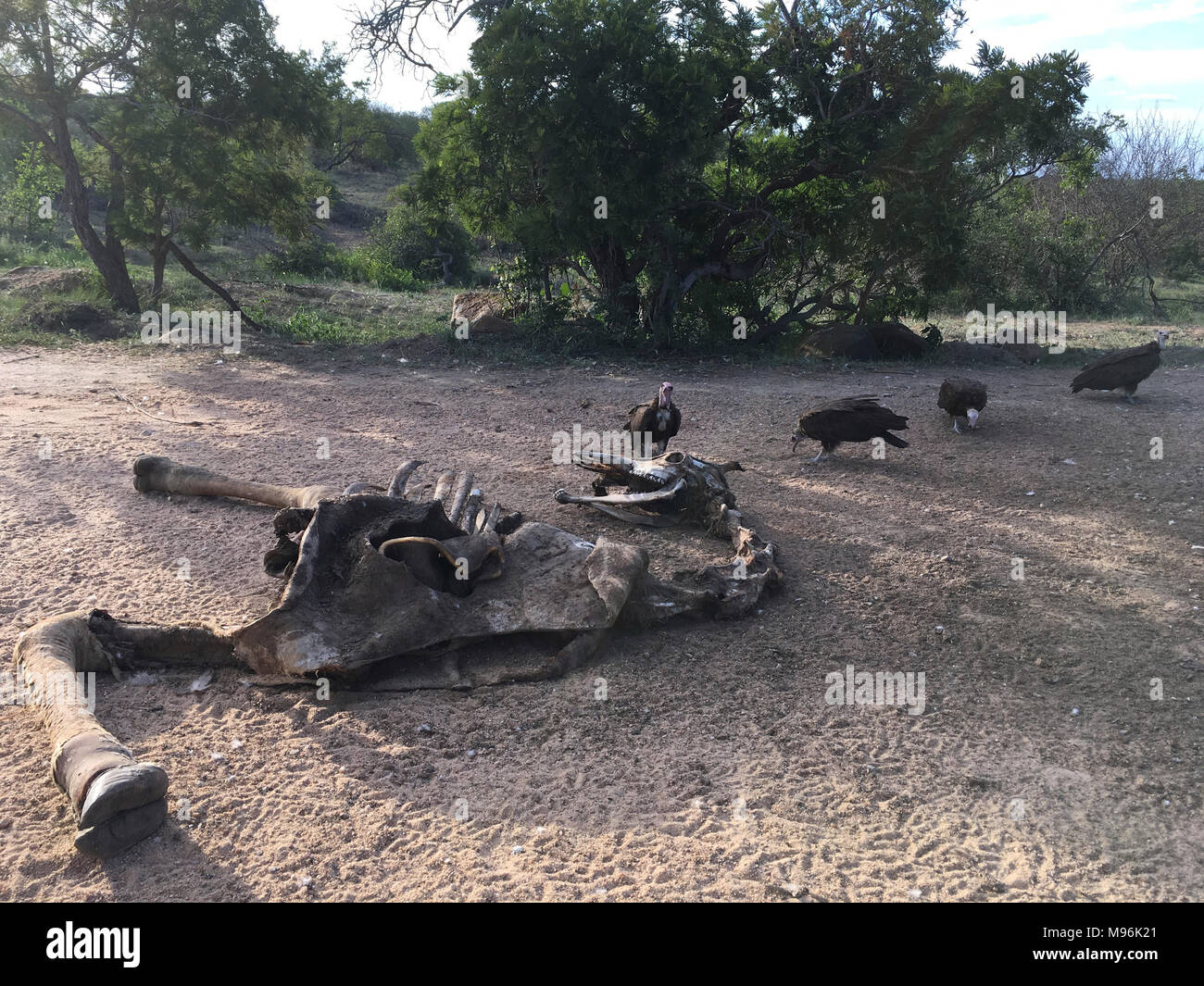 South Africa is a popular tourist destination for its blend of true African and European experiences. Kruger Park giraffe skeleton and vultures. - Stock Image