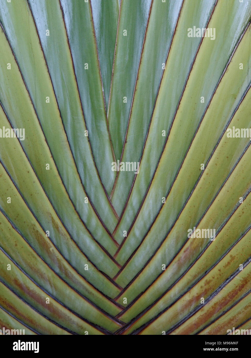 Detail of the Travellers Palm - Stock Image
