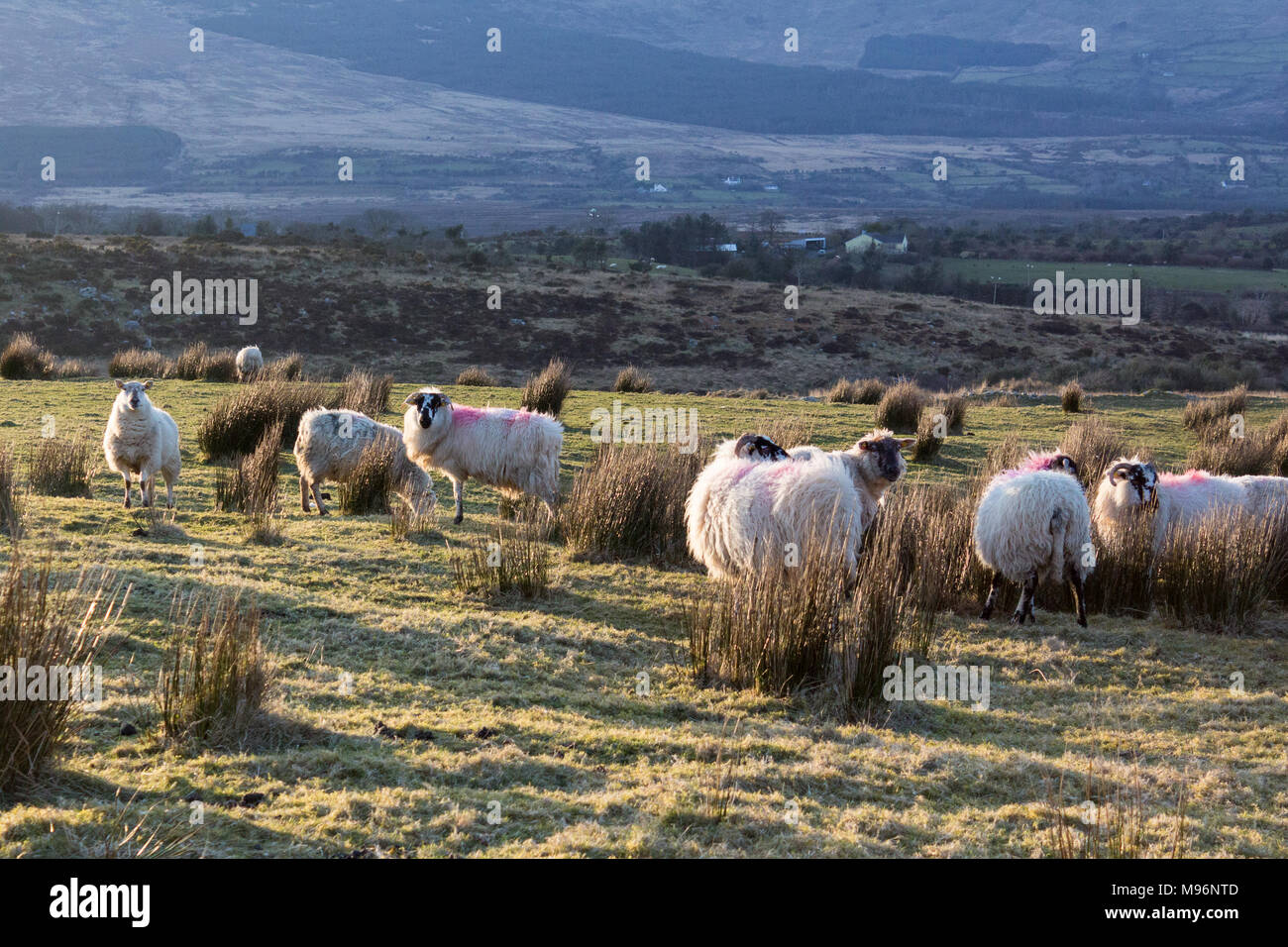 Sheep in a field on a Spring Evening on the Dingle Peninsula in County Kerry, Ireland - Stock Image