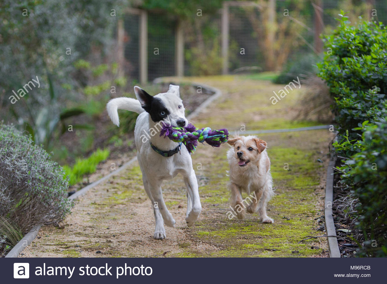 Two dogs running down path holding a rope toy - Stock Image