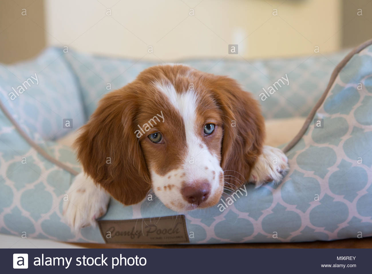 Close-up of brittany spaniel puppy peeking out of a blue dog bed - Stock Image