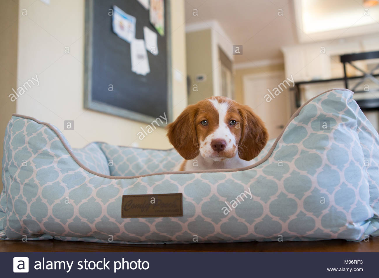 Brown and white brittany spaniel puppy with blue eyes peeking out from a blue and white dog bed - Stock Image
