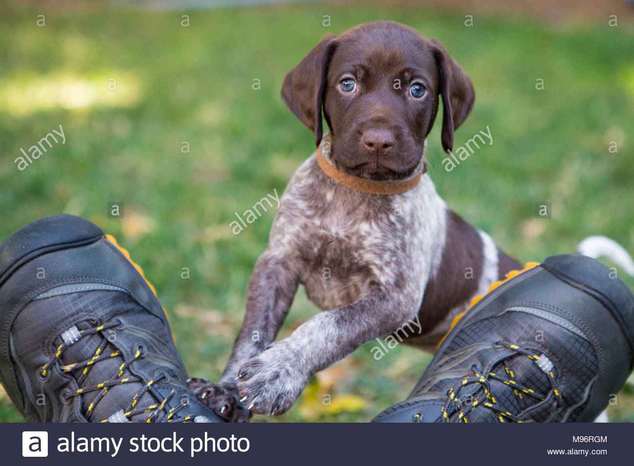 German Shorthaired pointer puppy standing on  a mans shoes and mischievously looking toward camera - Stock Image