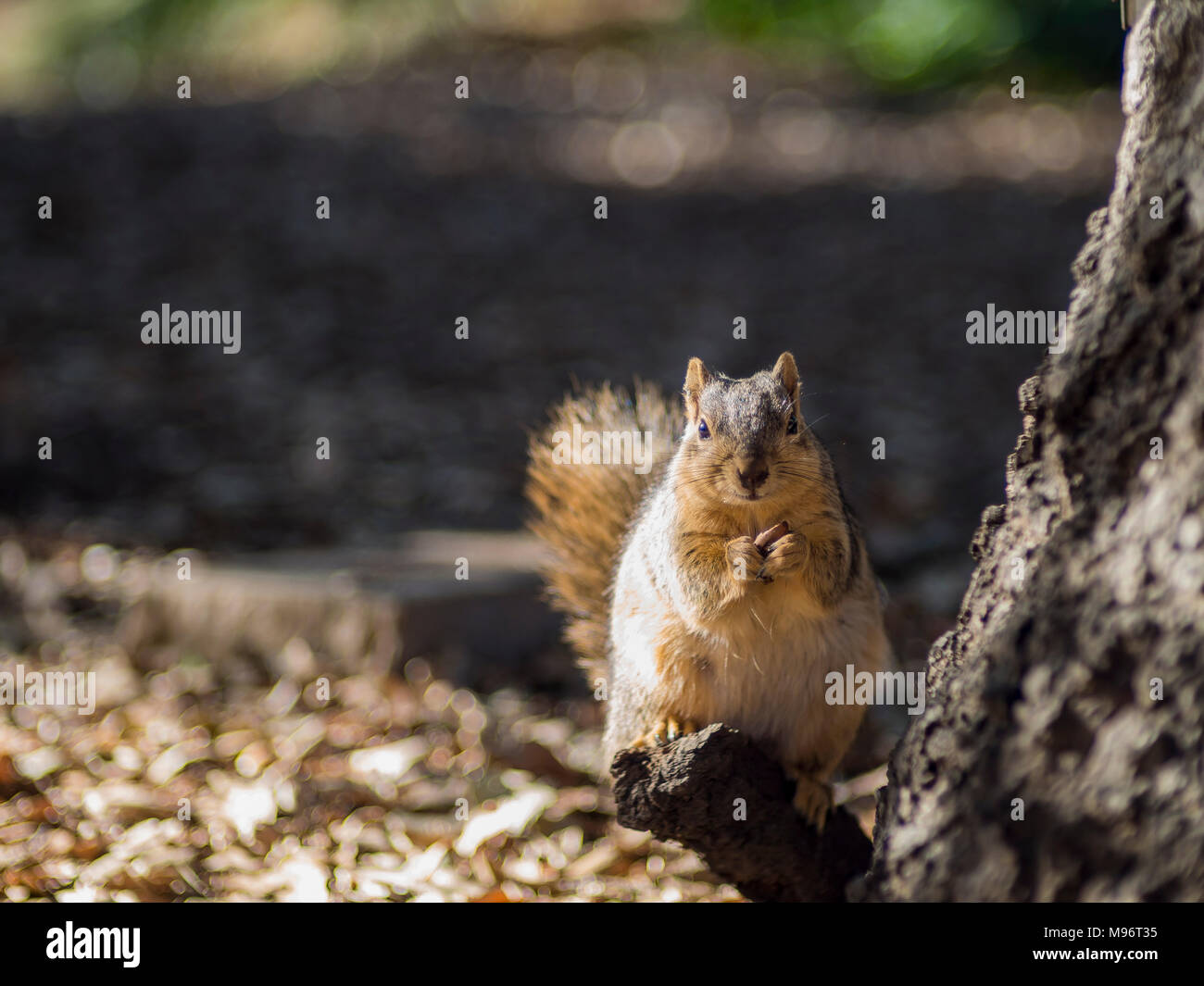 Close up shot of a cute little squirrel, photo took at Los Angeles - Stock Image