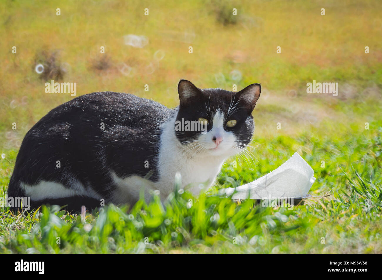 Close up shot of Tuxedo cat staring at you, photo took at Los Angeles - Stock Image