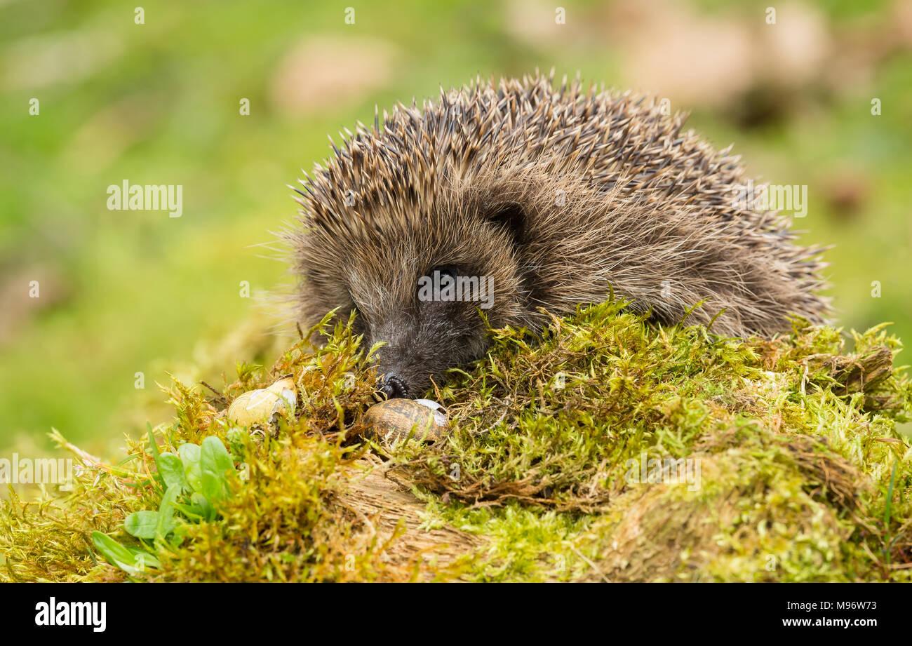 Hedgehog, wild, native, European hedgehog on green moss with blurred background.  Erinaceus europaeus.  Landscape. - Stock Image