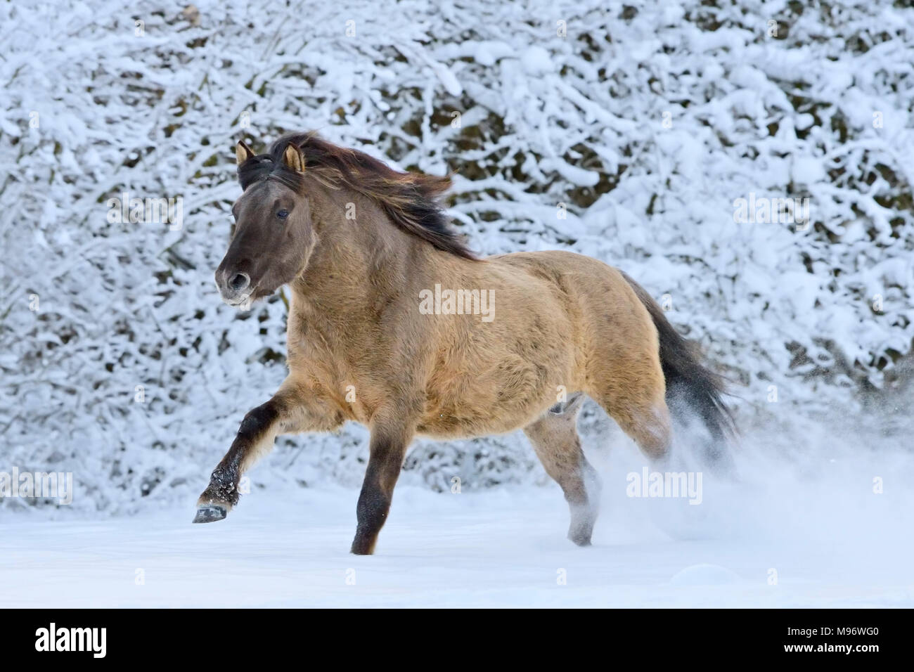 Konik pony cantering in snow - Stock Image