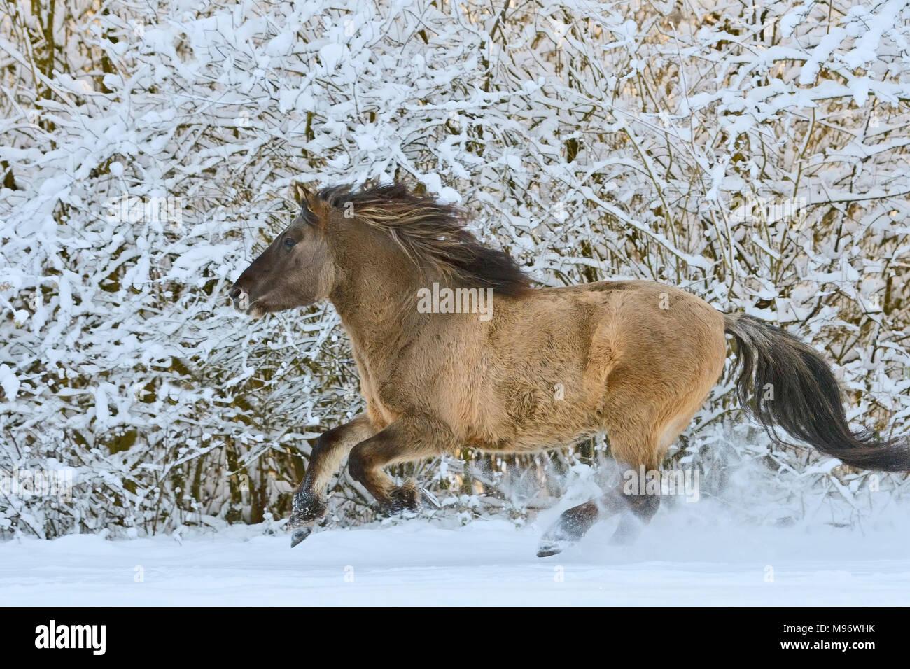 Konik pony cantering in snow Stock Photo