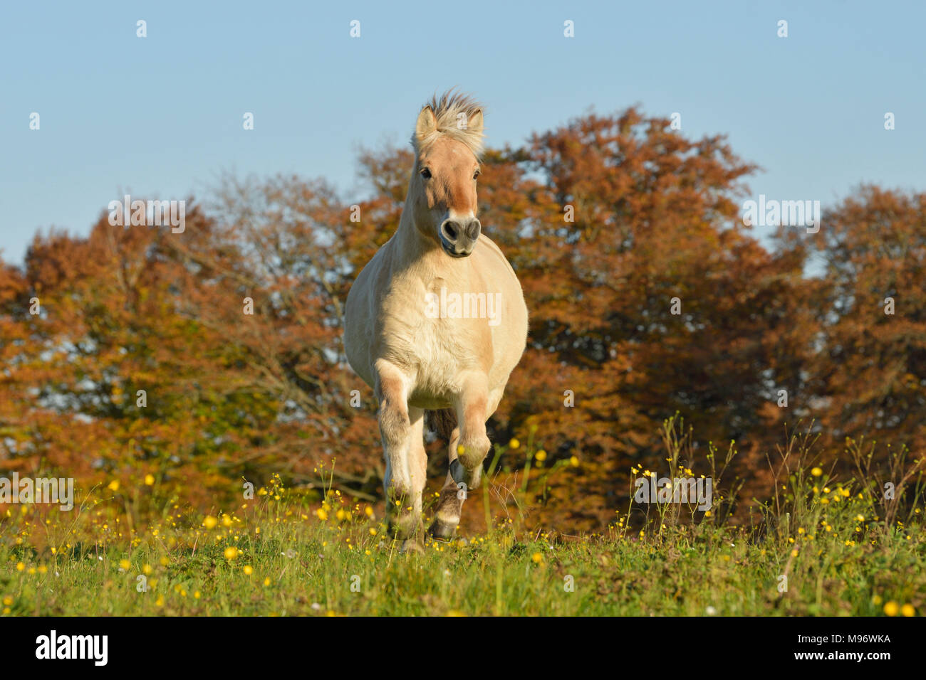 Norwegian Fjord horse cantering in the field in autumn - Stock Image