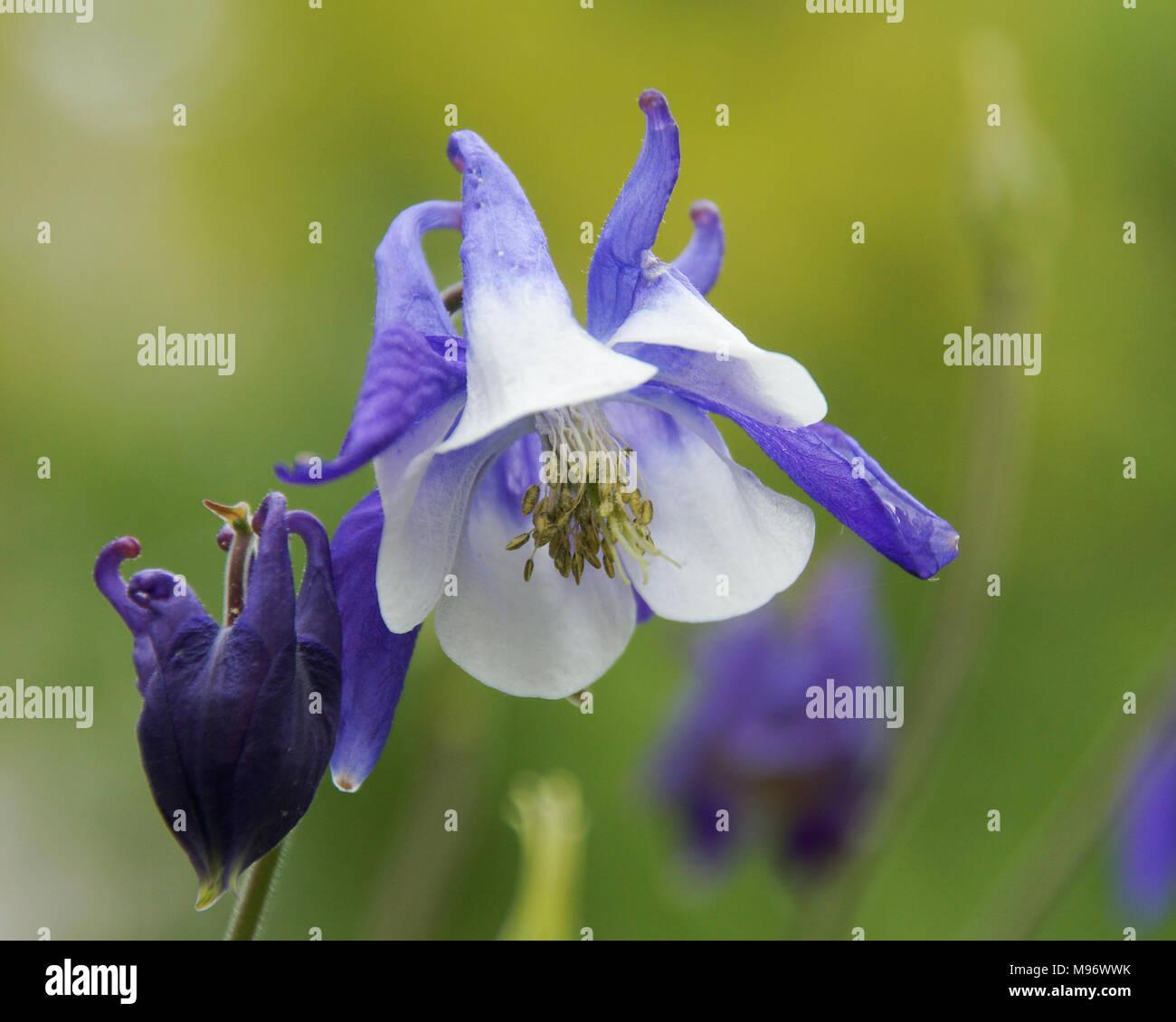 Close Up Of Aquilegia Vulgaris Common Columbine Flower Also Called