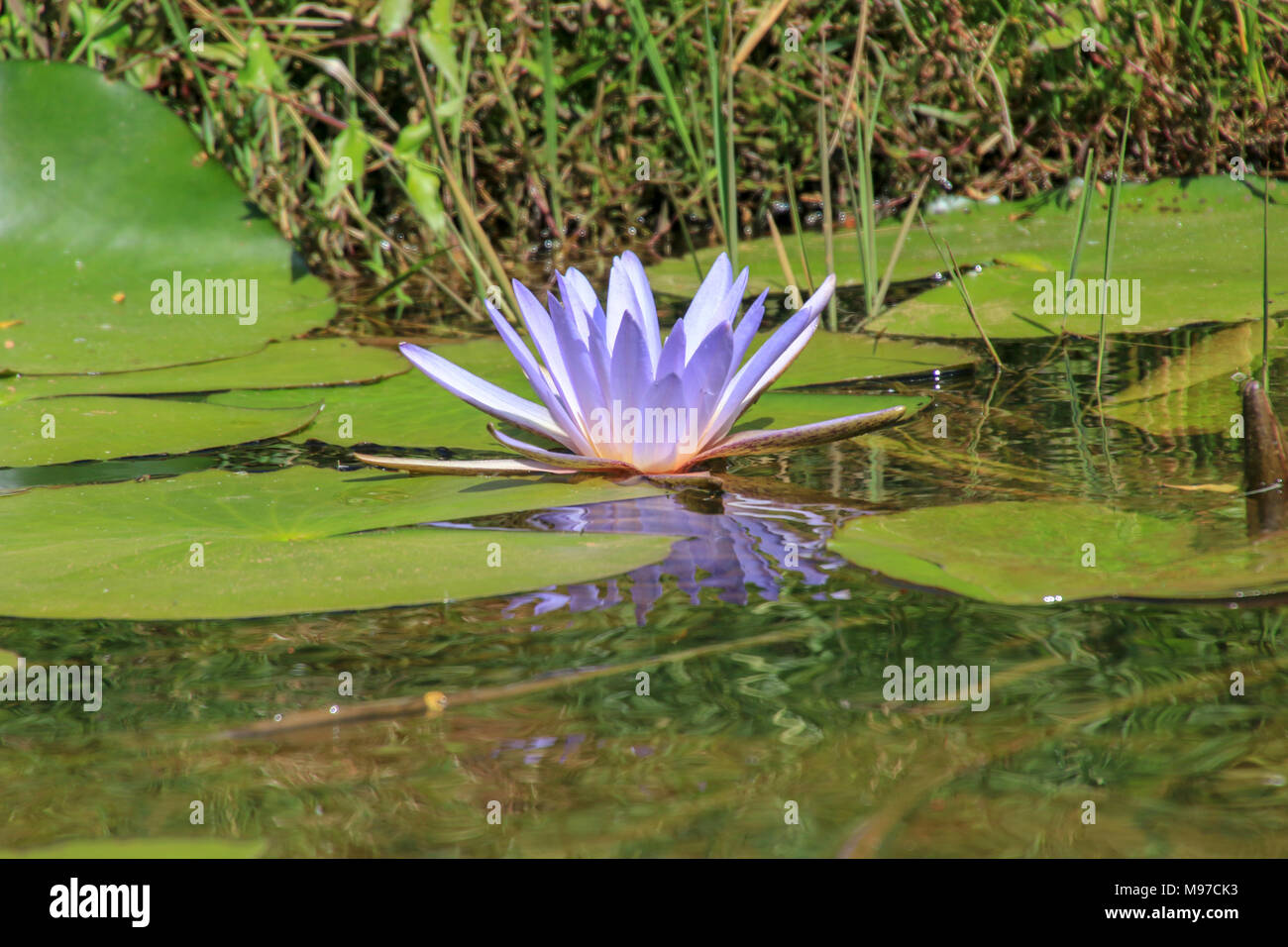 Nymphaea caerulea known primarily as blue lotus or blue egyptian nymphaea caerulea known primarily as blue lotus or blue egyptian lotus but also blue water lily or blue egyptian water lily and sacred blue lil izmirmasajfo