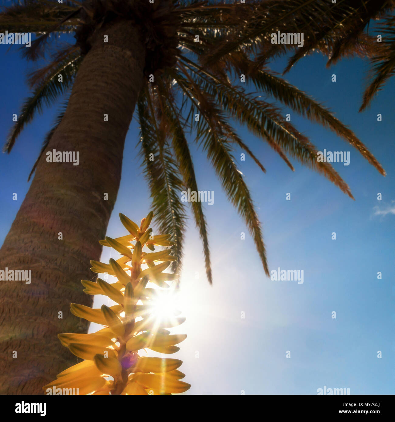 Instagram holiday look - looking up into a palm tree towards the sun through a yellow aloe vera flower - Stock Image