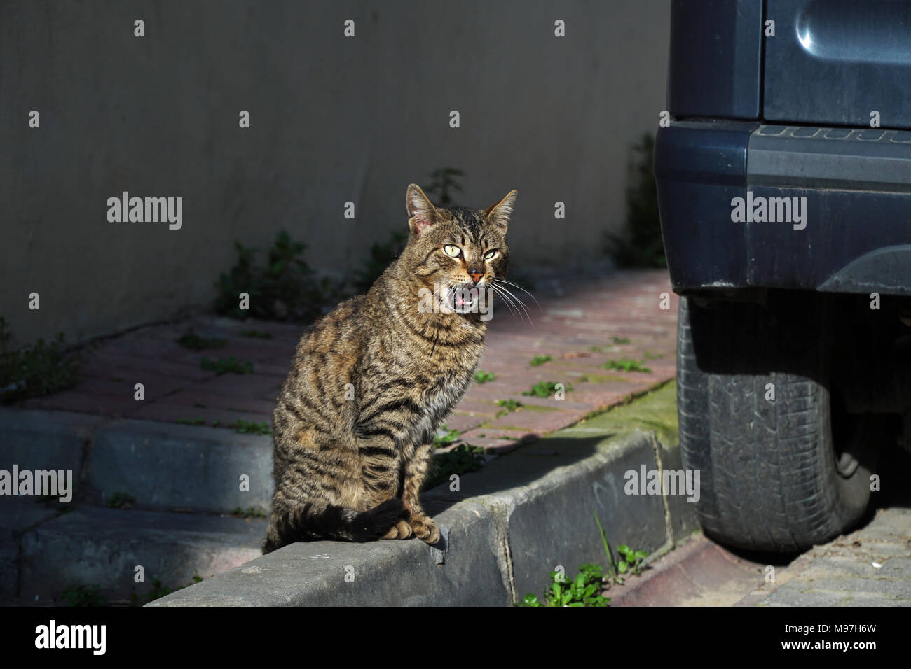 Tabby cat is yawning at street near a car. It is looks like amazed. Stock Photo