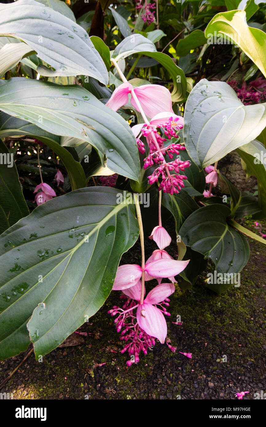 Tropical House Plant With Pink Flower on tropical house plant with red berries, name of small pink flowers, tropical plant large leaves, tree with hot pink flowers, tropical yellow flower plant, tropical tree with pink flowers, like house with cactus plants pink flowers, flowering trees pink flowers,