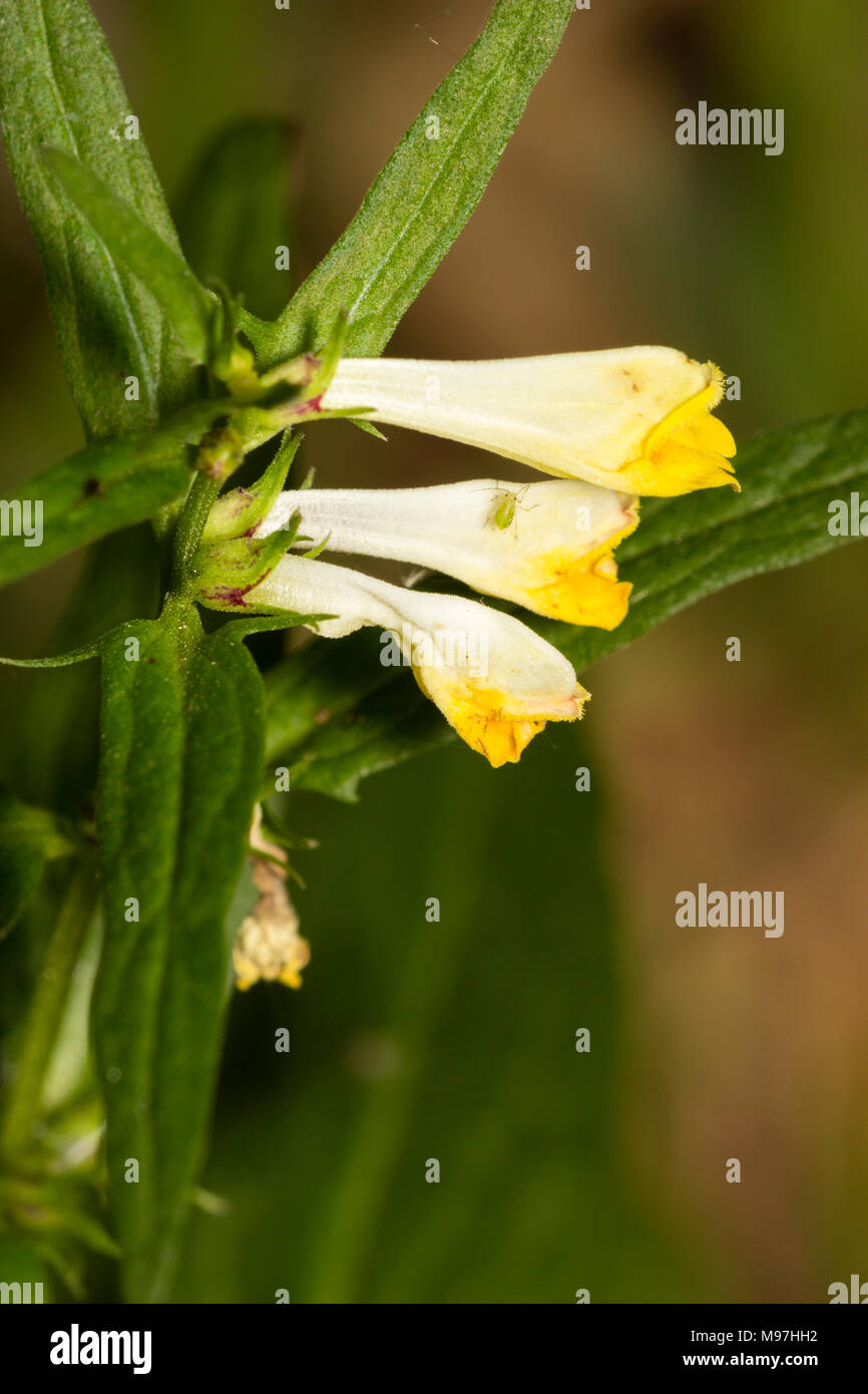 Summer flowers of the small hemiparasite annual common cow wheat, Melampyrum pratense - Stock Image