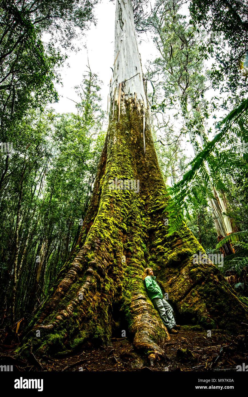 Australien, Tasmanien, Bäume, Baumriesen, Laubbäume, Eucalyptus, Swamp Gums, Mount Field National Park - Stock Image