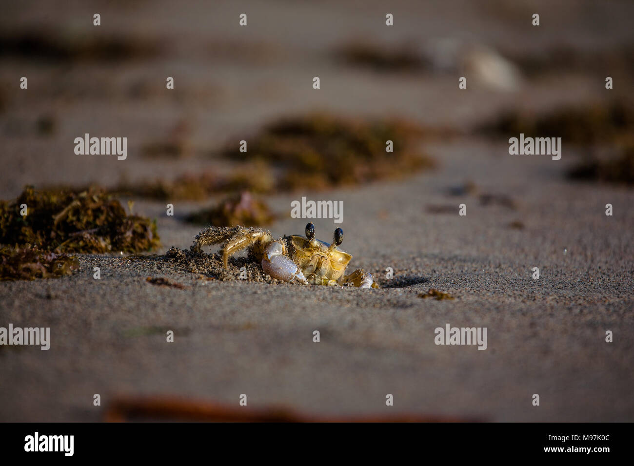 A yellow land crab poking its head of a hole in the sand, Grenada, Caribbean - Stock Image