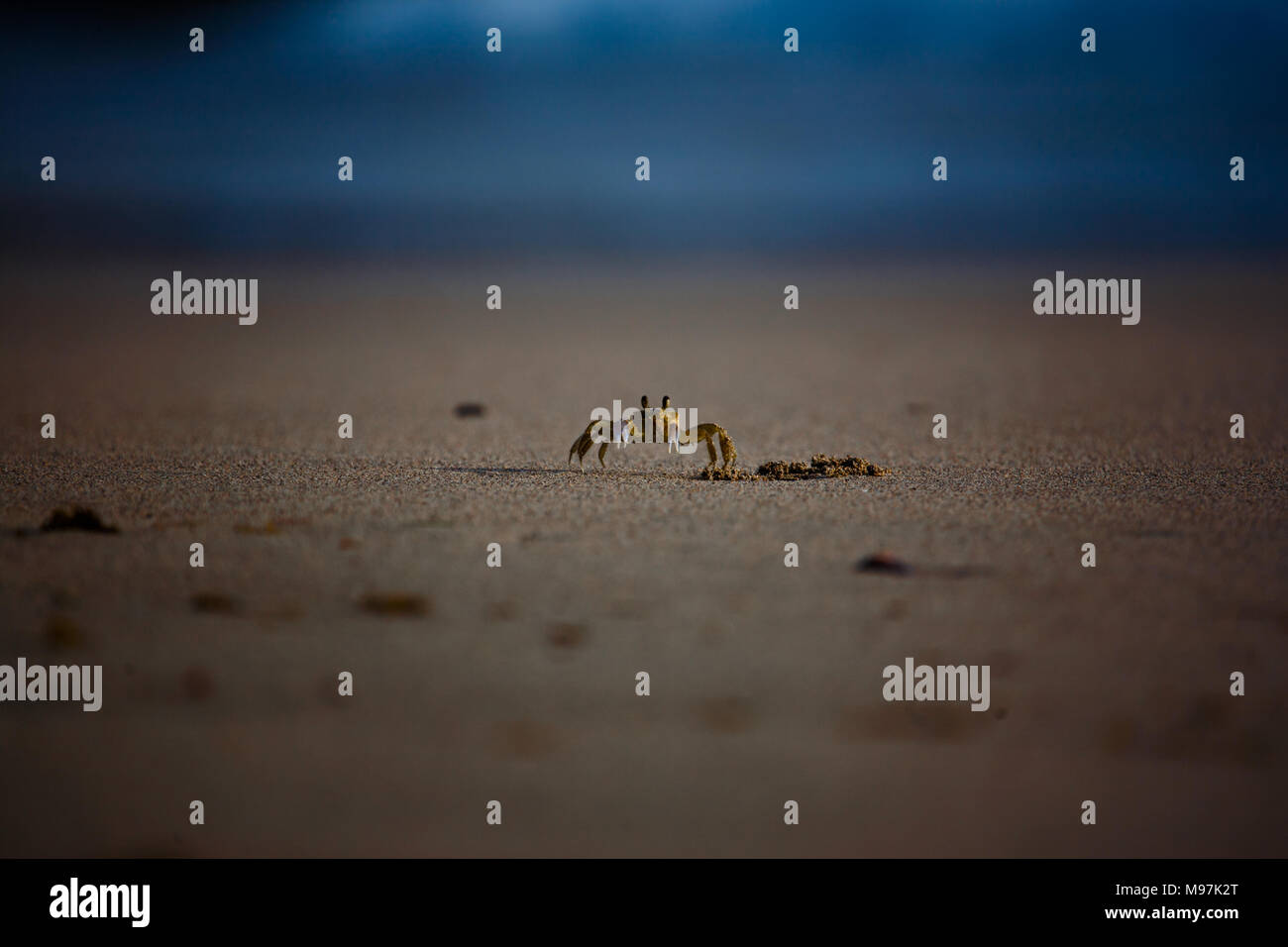 A yellow land crab scuttles across a beach in Grenada, Caribbean - Stock Image