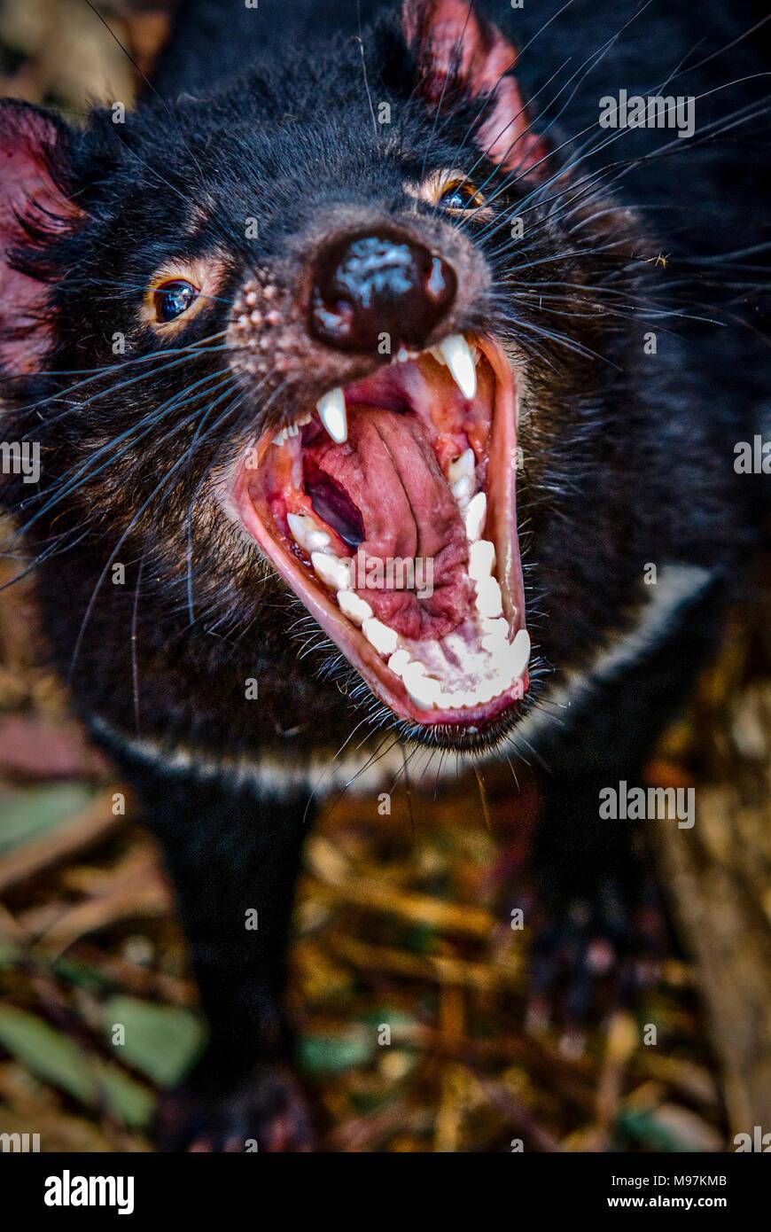 Australien, Tasmanien, Trowunna,  Trowunna wildlife park, Teufel, Tasmanischer Teufel - Stock Image