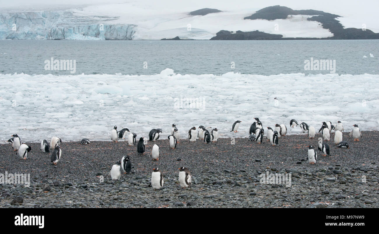 A Gentoo Penguin (Pygoscelis papua)  colony on a rocky shoreline in Antarctica - Stock Image